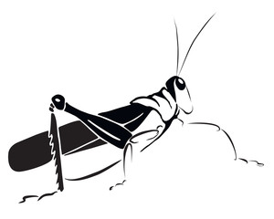 Hand drawing grasshopper on white background. Vector graphic