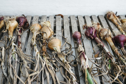 Homegrown red and white onions laid out in a walled greenhouse.
