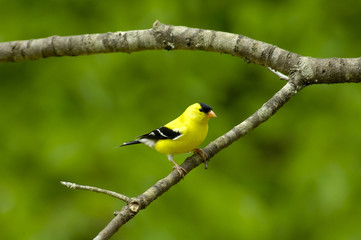 Male American Goldfinch (Carduelis tristus)
