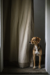 Dog waiting and standing behind curtains at home