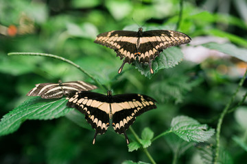 Butterflys at a butterfly conservatory