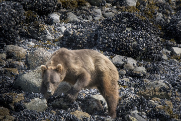 Brown Bear Looking for Food at Low Tide, Glacier Bay