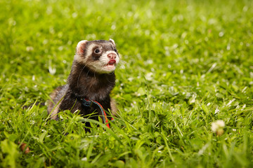 Ferret posing and relaxing in summer day in park grass