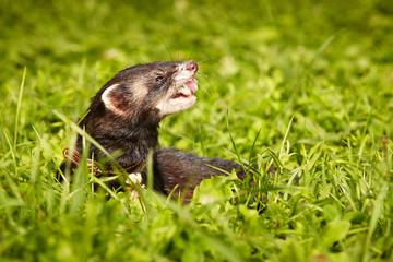 Polecat posing in summer day in park grass