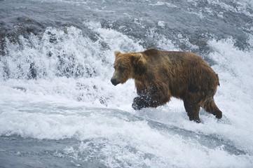 American Brown bear/Grizzly bear (Ursus arctos horribilis), McNeil River Sanctuary, Alaska