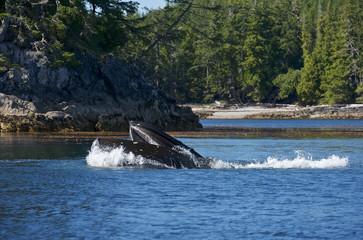 Humpaback Whale (Megaptera novaeangliae), Iside Pasage, South West Alaska, USA