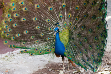 Peacock showing fully fanned tail.