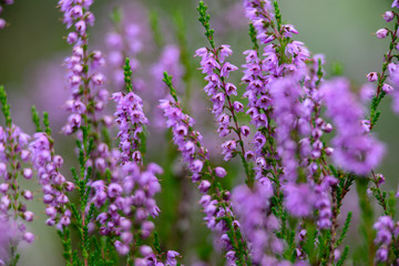 forest heather flowers and blossoms in spring
