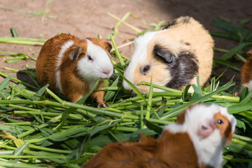 Guinea pig eating green grass in the Zoo.Thailand.