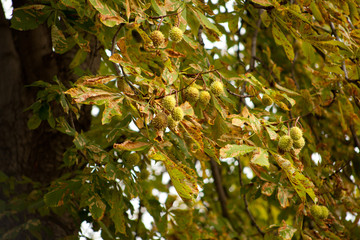 conkers  -  chestnut tree