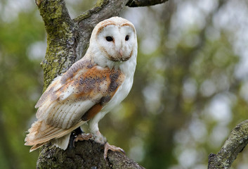 Barn Owl perched on a tree looking ahead, UK Fototapete