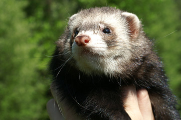 Sable ferret on a blurred green background