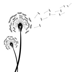 Black dandelion silhouette with wind blowing flying seeds isolated on white background. Blossom flower fluffy plant stock vector illustration