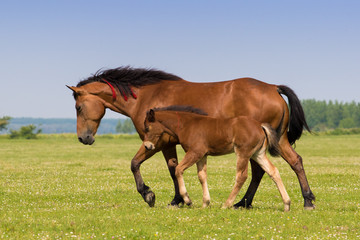 Sorrel mare and foal on the floral meadow