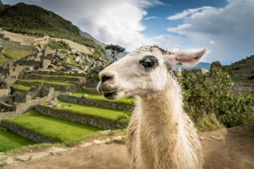 Portrait eines Lamas in den Ruinen von Machu Picchu