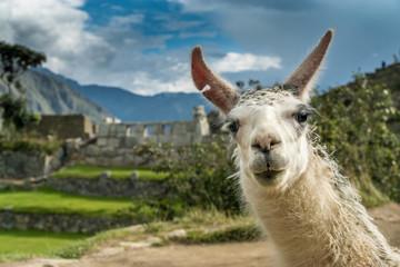In de dag Lama Portrait eines Lamas in den Ruinen von Machu Picchu