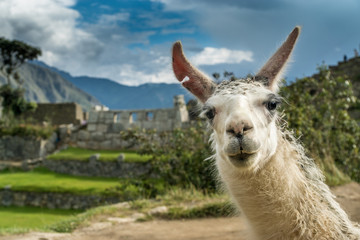 Zelfklevend Fotobehang Lama Portrait eines Lamas in den Ruinen von Machu Picchu