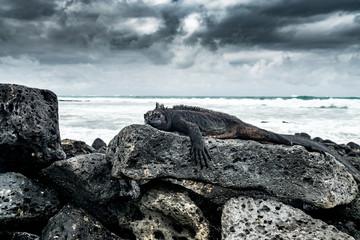 Meerechse auf Lavafelsen am Strand von Tortuga Bay, Isla Santa Cruz, Galapagos