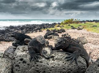 Meerechsen Kolonie auf Lavafelsen am Strand von Tortuga Bay, Isla Santa Cruz, Galapagos