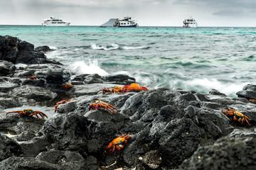 Rote Klippenkrabben am Strand von Las Bachas Beach, Isla Santa Cruz, Galapagos