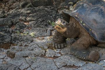 Galapagos-Riesenschildkröte im Aufzuchtzentrum bei Puerto VIllamil, Isabela