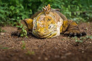 Schlafender Gelber Landleguan bei Cerro Dragon, Isla Santa Cruz, Galapagos