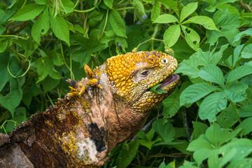 Fressender Gelber Landleguan bei Cerro Dragon, Isla Santa Cruz, Galapagos