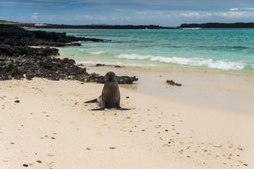 Junger Galapagos-Seelöwe am Sandstrand bei Isla Sombrero Chino, Galapagos