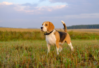 Beagle dog on a walk early in the morning