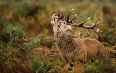 Red deer stag bellowing during the rut in autumn, UK