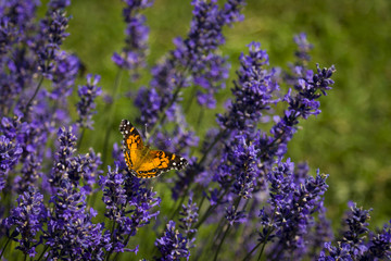 Orange Butterfly on Lavender Flowers