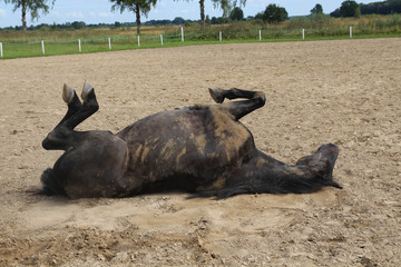 Beautiful brown horse in farm relaxing in sand Stable. Horse rolling in the sand