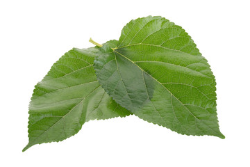 Mulberry leavesisolated on over white background