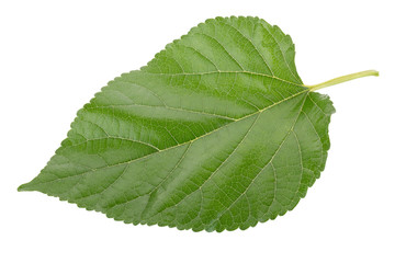 Mulberry leaves isolated on over white background