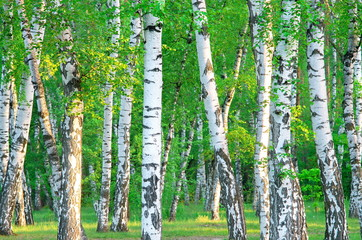 Poster de jardin Bosquet de bouleaux birch grove in the early morning sunlight