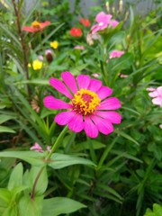 Zinnia beautiful flowers
