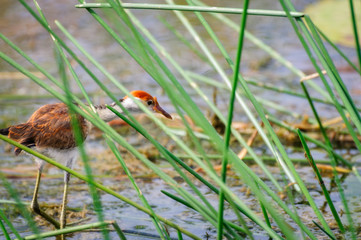 Combed Crested Jacana also called 'Jesus Bird is peaking through the tall grass in Corroboree Billabong, a pristine wetland habitat in Northern Territory, Australia.