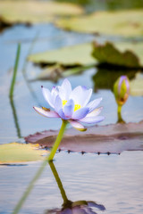 A Waterlily at Corroboree Billabong, Northern Territory, Australia