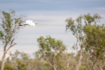 A Egret in flight at Corroboree Billabong in Northern Territory, Australia