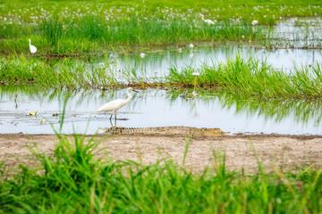 An Egret unaware of the crocodile near-by at Corroboree Wetlands, Northern Territory, Australia