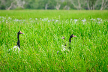 Magpie Geese in the grass at Corroboree Billabong in Northern Territory, Australia