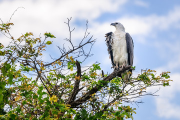 A majestic white bellied sea eagle on top of a tree at Corroboree Billabong in Northern Territory, Australia