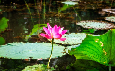 Sacred lotus with large pink flowers in the wetlands in Northern Territory, Australia