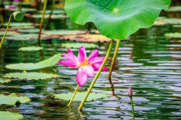 Pink flowers and flat lily pads at Corroboree Billabong, Northern Territory, Australia