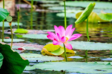 Sacred lotus with large pink flowers at Corroboree Wetlands, Northern Territory, Australia