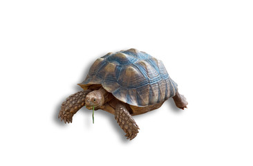 Sulcata tortoise, African spurred tortoise isolated on white background(clipping path)