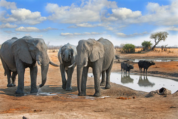 Elephants and buffalo at a waterhole in Hwange National park with a nice blue cloudy sky, Zimbabwe