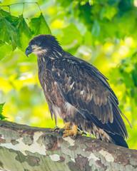Eaglet on Limb