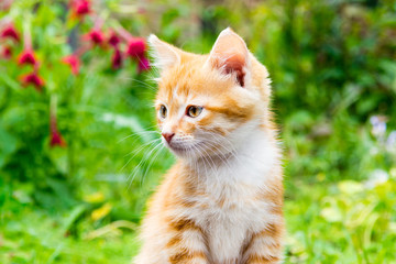 Little red kitten sitting in a blooming green garden. Cute young cat sitting in front and looking away.