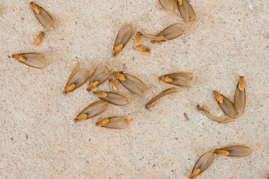 many of brown winged termite (alates) on cement floor